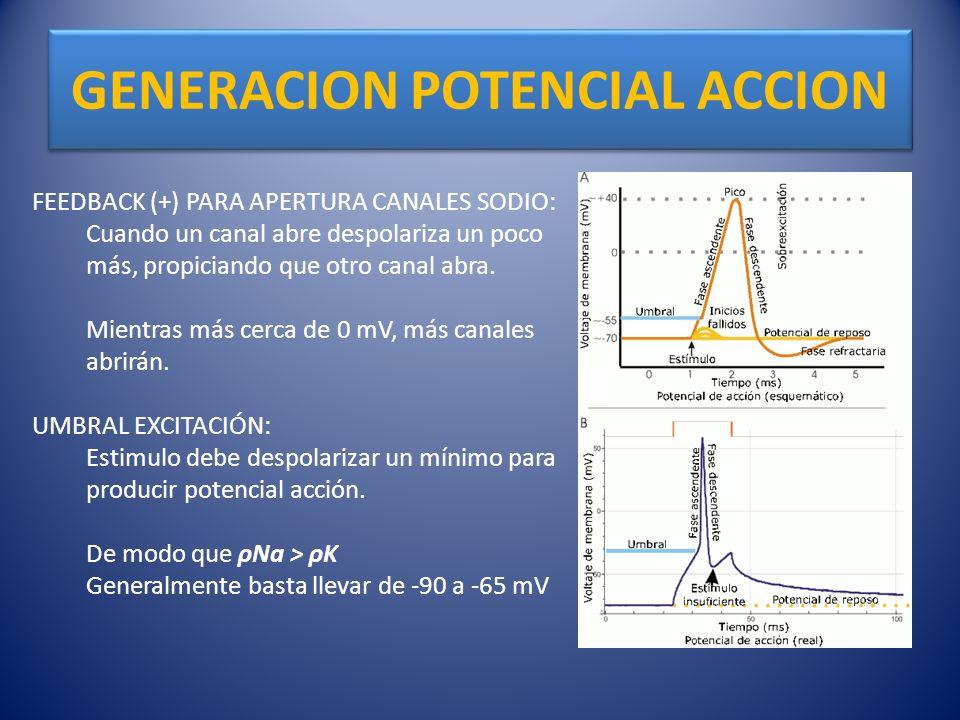 GENERACION POTENCIAL ACCION FEEDBACK (+) PARA APERTURA CANALES SODIO: Cuando un canal abre despolariza un poco más, propiciando que otro canal abra. M