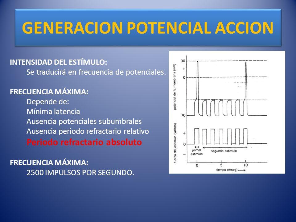 GENERACION POTENCIAL ACCION INTENSIDAD DEL ESTÍMULO: Se traducirá en frecuencia de potenciales. FRECUENCIA MÁXIMA: Depende de: Mínima latencia Ausenci
