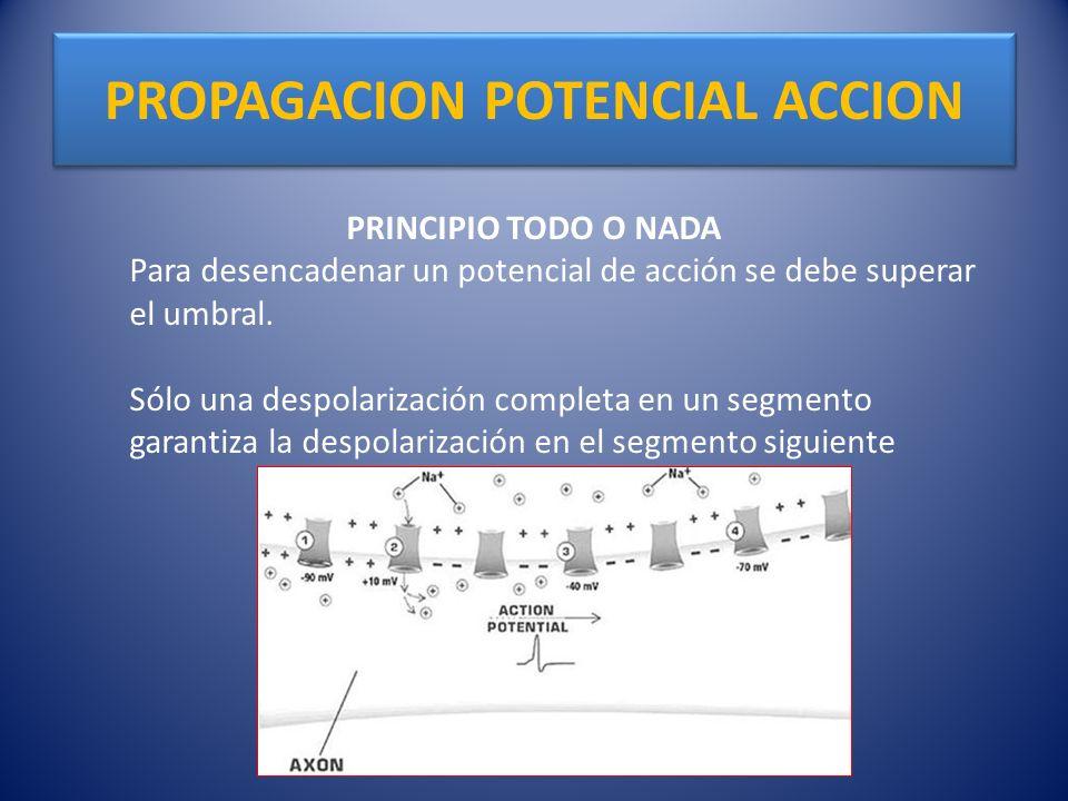 PROPAGACION POTENCIAL ACCION PRINCIPIO TODO O NADA Para desencadenar un potencial de acción se debe superar el umbral. Sólo una despolarización comple