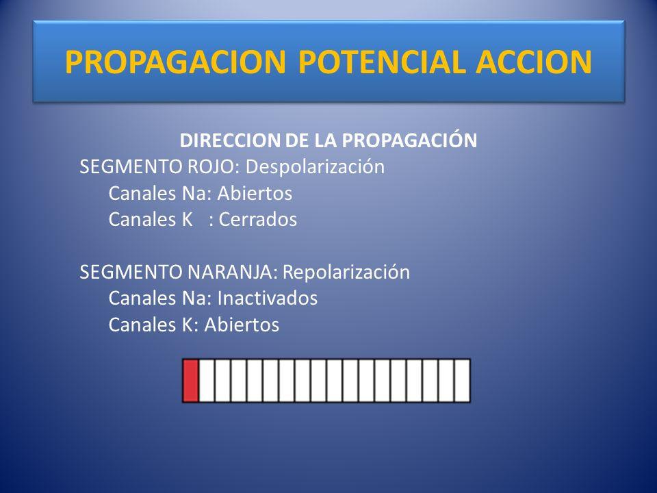 PROPAGACION POTENCIAL ACCION DIRECCION DE LA PROPAGACIÓN SEGMENTO ROJO: Despolarización Canales Na: Abiertos Canales K : Cerrados SEGMENTO NARANJA: Re