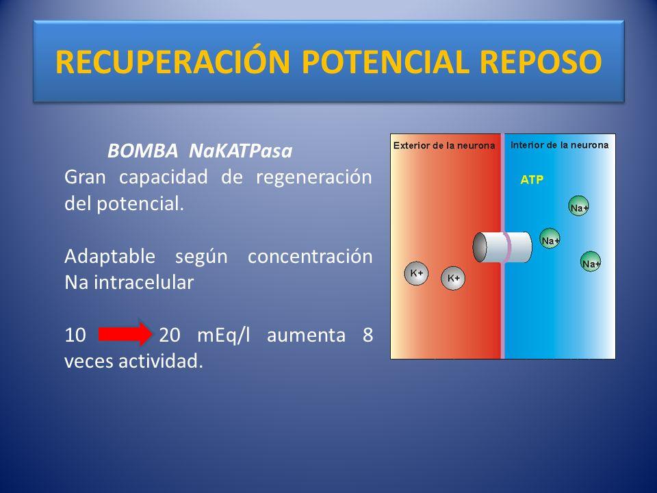RECUPERACIÓN POTENCIAL REPOSO BOMBA NaKATPasa Gran capacidad de regeneración del potencial. Adaptable según concentración Na intracelular 10 20 mEq/l
