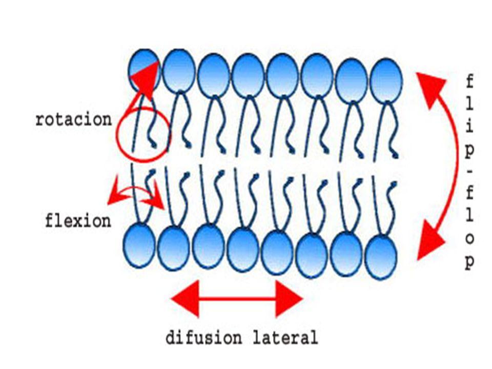 Fluidez de la membrana Depende de factores como : la temperatura, la fluidez aumenta al aumentar la temperatura.