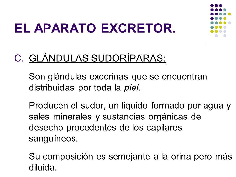 EL APARATO EXCRETOR. C.GLÁNDULAS SUDORÍPARAS: Son glándulas exocrinas que se encuentran distribuidas por toda la piel. Producen el sudor, un líquido f