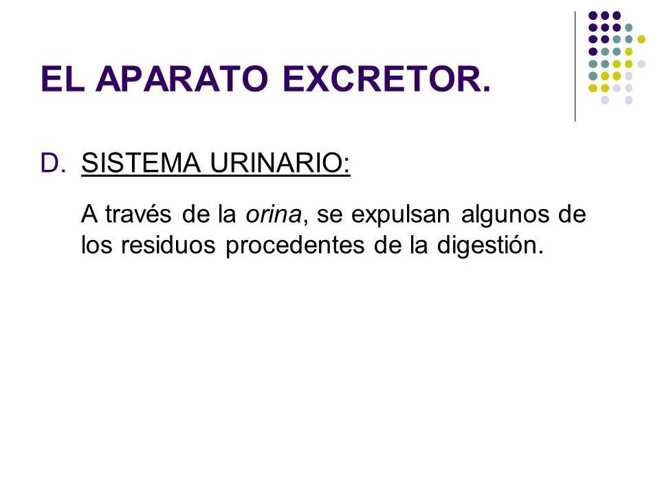 EL APARATO EXCRETOR. D.SISTEMA URINARIO: A través de la orina, se expulsan algunos de los residuos procedentes de la digestión.