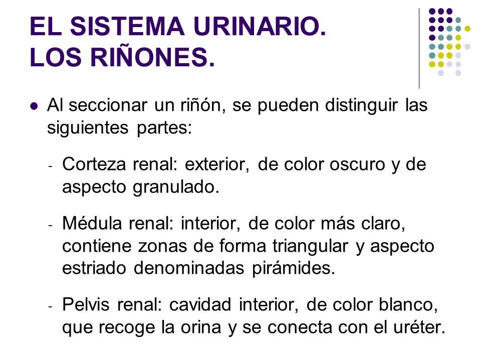 EL SISTEMA URINARIO. LOS RIÑONES. Al seccionar un riñón, se pueden distinguir las siguientes partes: - Corteza renal: exterior, de color oscuro y de a