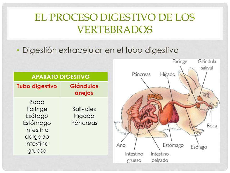 EL PROCESO DIGESTIVO DE LOS VERTEBRADOS Digestión extracelular en el tubo digestivo APARATO DIGESTIVO Tubo digestivoGlándulas anejas Boca Faringe Esófago Estómago Intestino delgado Intestino grueso Salivales Hígado Páncreas