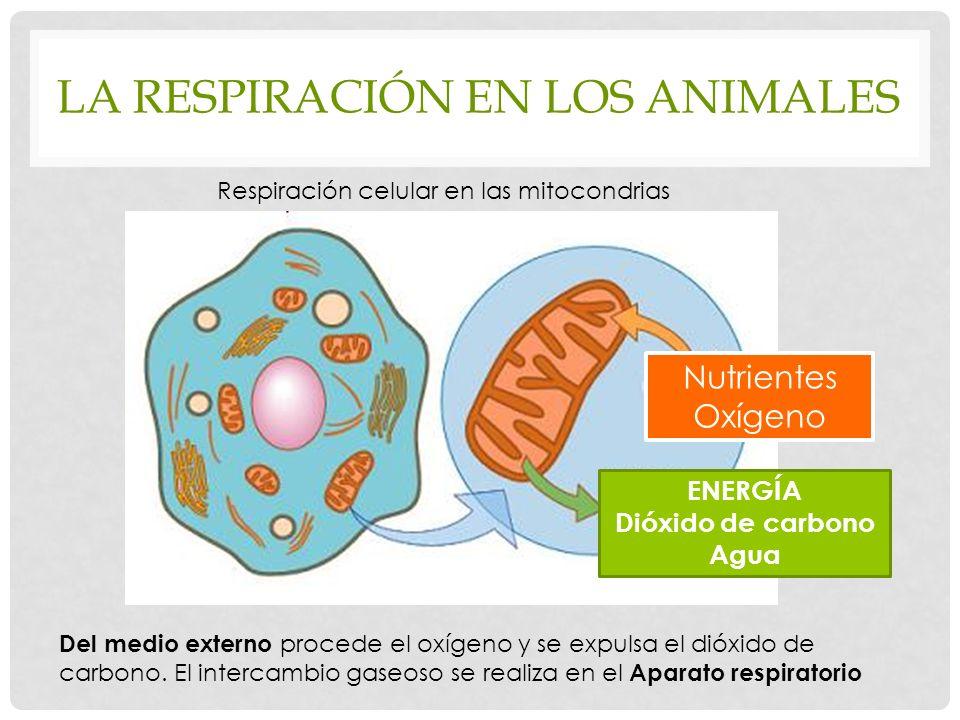LA RESPIRACIÓN EN LOS ANIMALES Respiración celular en las mitocondrias Nutrientes Oxígeno ENERGÍA Dióxido de carbono Agua Del medio externo procede el oxígeno y se expulsa el dióxido de carbono.