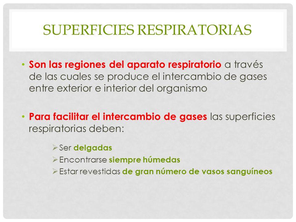 SUPERFICIES RESPIRATORIAS Son las regiones del aparato respiratorio a través de las cuales se produce el intercambio de gases entre exterior e interior del organismo Para facilitar el intercambio de gases las superficies respiratorias deben: Ser delgadas Encontrarse siempre húmedas Estar revestidas de gran número de vasos sanguíneos