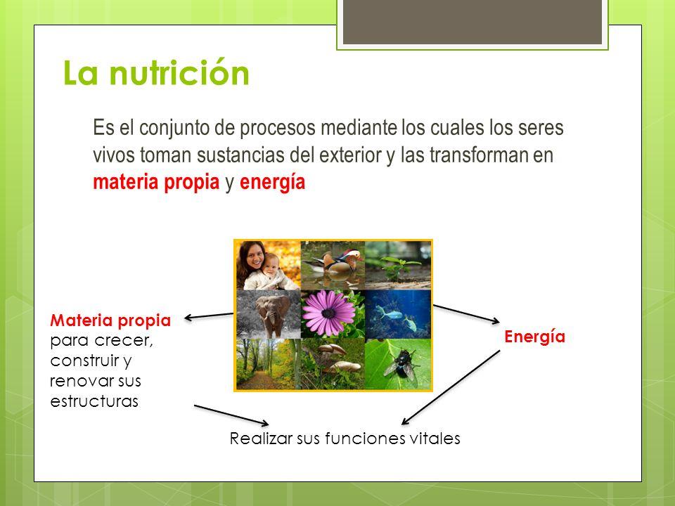 La nutrición Es el conjunto de procesos mediante los cuales los seres vivos toman sustancias del exterior y las transforman en materia propia y energía Materia propia para crecer, construir y renovar sus estructuras Energía Realizar sus funciones vitales