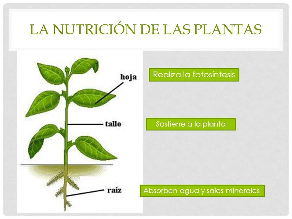 LA NUTRICIÓN DE LAS PLANTAS Realiza la fotosíntesis Sostiene a la planta Absorben agua y sales minerales