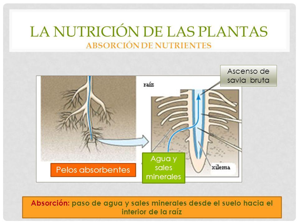 LA NUTRICIÓN DE LAS PLANTAS ABSORCIÓN DE NUTRIENTES Pelos absorbentes Agua y sales minerales Ascenso de savia bruta Absorción: paso de agua y sales minerales desde el suelo hacia el interior de la raíz
