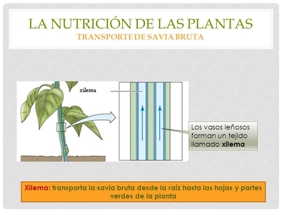 LA NUTRICIÓN DE LAS PLANTAS TRANSPORTE DE SAVIA BRUTA Los vasos leñosos forman un tejido llamado xilema Xilema: transporta la savia bruta desde la raíz hasta las hojas y partes verdes de la planta