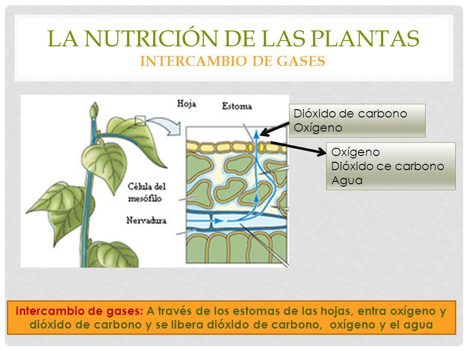LA NUTRICIÓN DE LAS PLANTAS INTERCAMBIO DE GASES Dióxido de carbono Oxígeno Dióxido ce carbono Agua Intercambio de gases: A través de los estomas de las hojas, entra oxígeno y dióxido de carbono y se libera dióxido de carbono, oxígeno y el agua