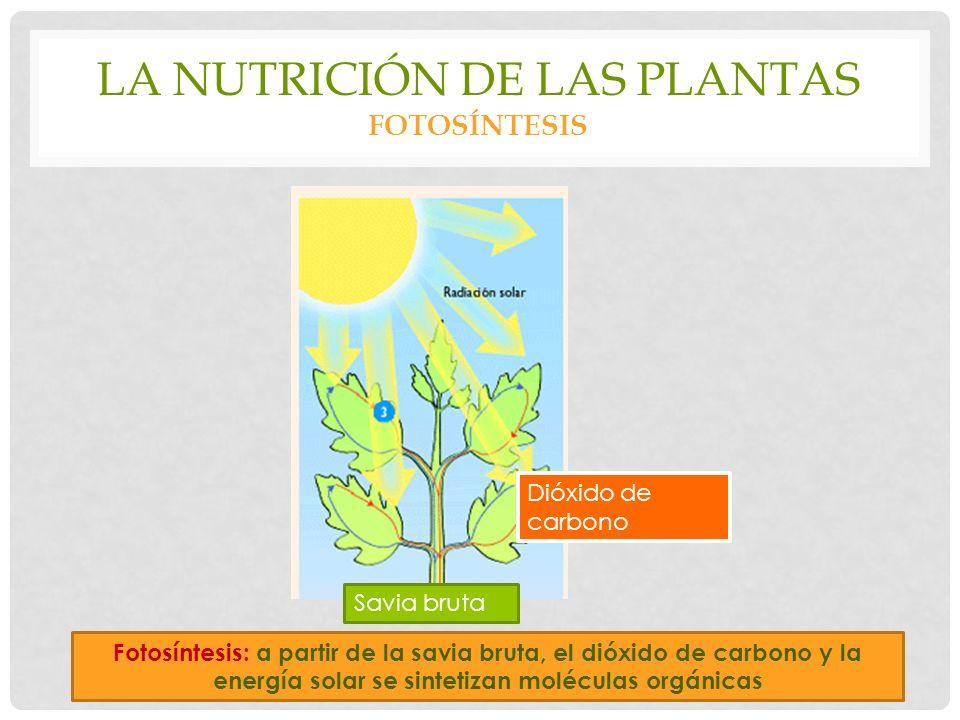 LA NUTRICIÓN DE LAS PLANTAS FOTOSÍNTESIS Fotosíntesis: a partir de la savia bruta, el dióxido de carbono y la energía solar se sintetizan moléculas orgánicas Savia bruta Dióxido de carbono