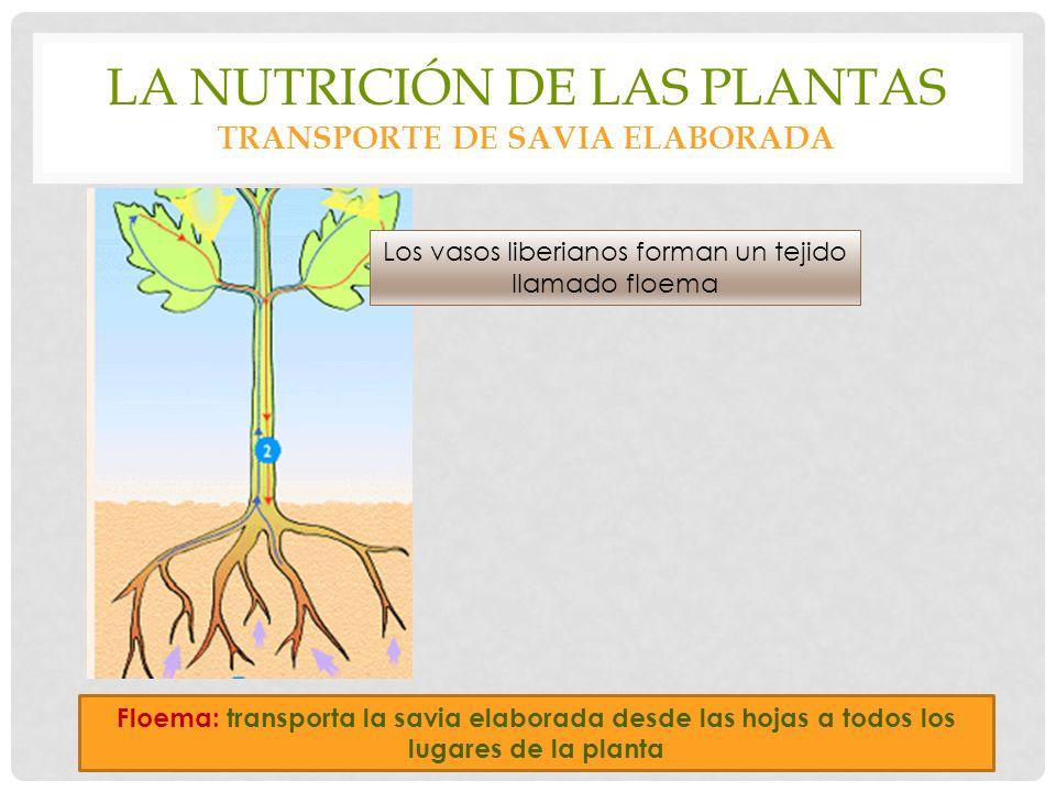 LA NUTRICIÓN DE LAS PLANTAS TRANSPORTE DE SAVIA ELABORADA Floema: transporta la savia elaborada desde las hojas a todos los lugares de la planta Los vasos liberianos forman un tejido llamado floema