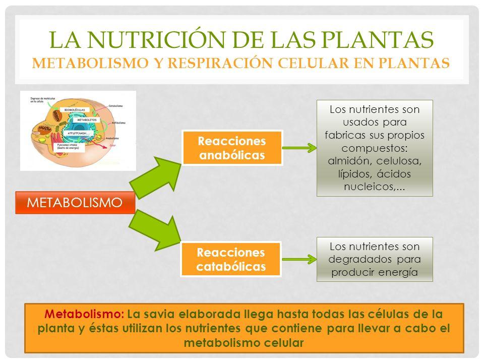 LA NUTRICIÓN DE LAS PLANTAS METABOLISMO Y RESPIRACIÓN CELULAR EN PLANTAS Metabolismo: La savia elaborada llega hasta todas las células de la planta y éstas utilizan los nutrientes que contiene para llevar a cabo el metabolismo celular METABOLISMO Reacciones anabólicas Reacciones catabólicas Los nutrientes son usados para fabricas sus propios compuestos: almidón, celulosa, lípidos, ácidos nucleicos,...