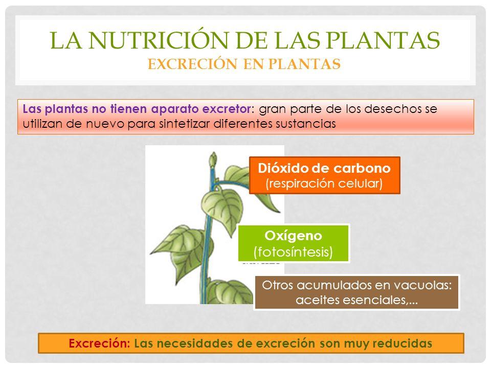 LA NUTRICIÓN DE LAS PLANTAS EXCRECIÓN EN PLANTAS Excreción: Las necesidades de excreción son muy reducidas Las plantas no tienen aparato excretor : gran parte de los desechos se utilizan de nuevo para sintetizar diferentes sustancias Oxígeno (fotosíntesis) Dióxido de carbono (respiración celular) Otros acumulados en vacuolas: aceites esenciales,...