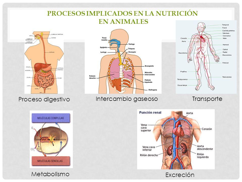 PROCESOS IMPLICADOS EN LA NUTRICIÓN EN ANIMALES Proceso digestivo TransporteIntercambio gaseoso Metabolismo Excreción
