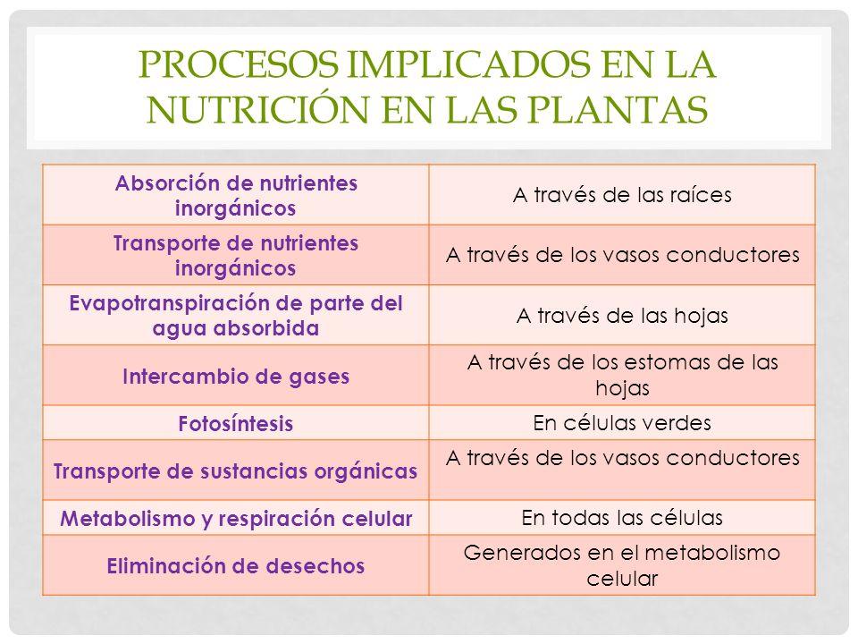 PROCESOS IMPLICADOS EN LA NUTRICIÓN EN LAS PLANTAS Absorción de nutrientes inorgánicos A través de las raíces Transporte de nutrientes inorgánicos A través de los vasos conductores Evapotranspiración de parte del agua absorbida A través de las hojas Intercambio de gases A través de los estomas de las hojas Fotosíntesis En células verdes Transporte de sustancias orgánicas A través de los vasos conductores Metabolismo y respiración celular En todas las células Eliminación de desechos Generados en el metabolismo celular