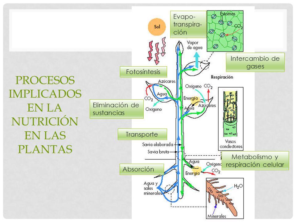 PROCESOS IMPLICADOS EN LA NUTRICIÓN EN LAS PLANTAS Absorción Transporte Evapo- transpira- ción Intercambio de gases Fotosíntesis Metabolismo y respiración celular Eliminación de sustancias