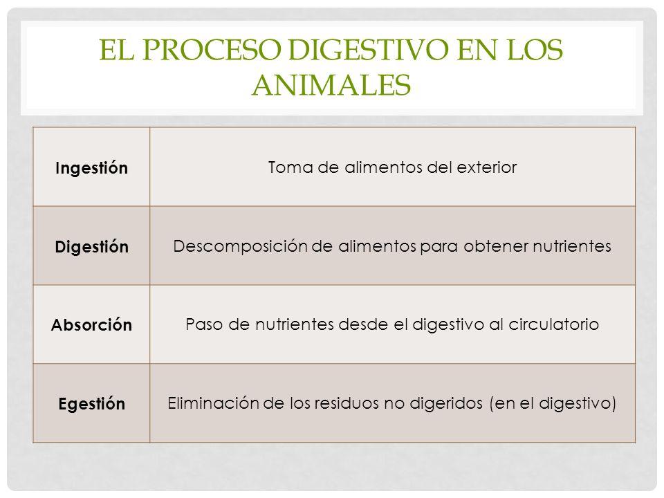 EL PROCESO DIGESTIVO EN LOS ANIMALES Ingestión Toma de alimentos del exterior Digestión Descomposición de alimentos para obtener nutrientes Absorción Paso de nutrientes desde el digestivo al circulatorio Egestión Eliminación de los residuos no digeridos (en el digestivo)