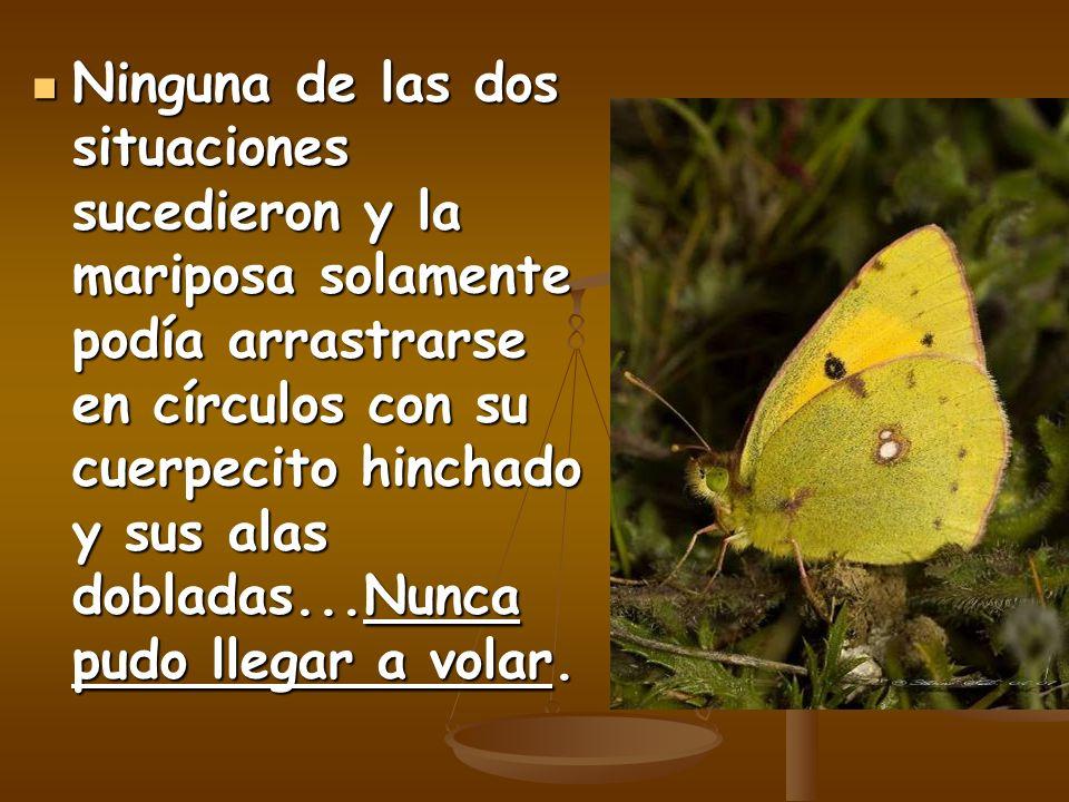 Ninguna de las dos situaciones sucedieron y la mariposa solamente podía arrastrarse en círculos con su cuerpecito hinchado y sus alas dobladas...Nunca pudo llegar a volar.