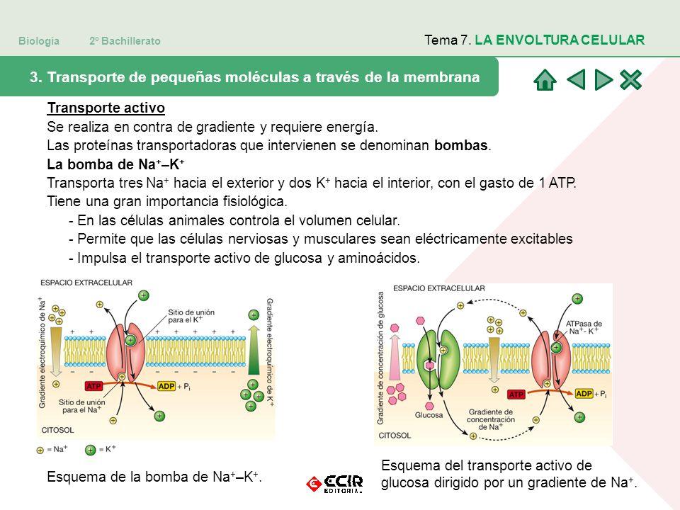 Biología 2º Bachillerato Tema 7. LA ENVOLTURA CELULAR 3. Transporte de pequeñas moléculas a través de la membrana Transporte activo Se realiza en cont