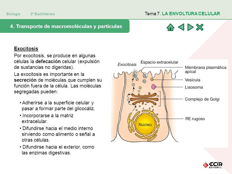 Biología 2º Bachillerato Tema 7. LA ENVOLTURA CELULAR 4. Transporte de macromoléculas y partículas Exocitosis Por exocitosis, se produce en algunas cé