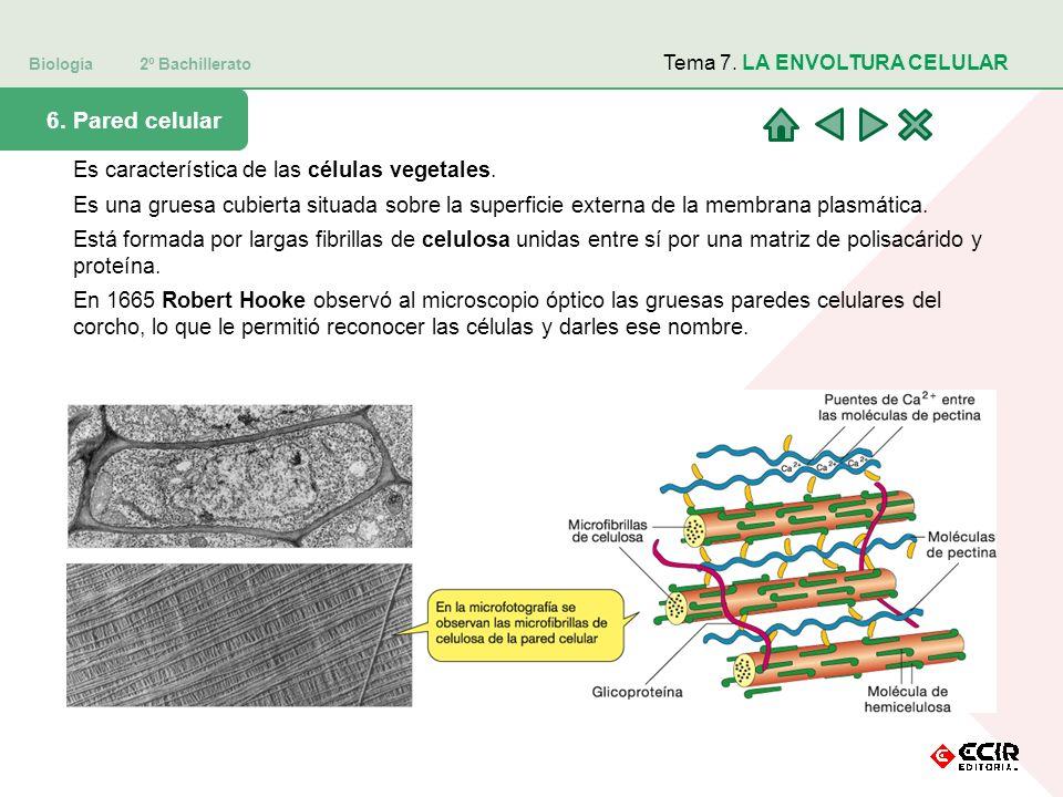 Biología 2º Bachillerato Tema 7. LA ENVOLTURA CELULAR 6. Pared celular Es característica de las células vegetales. Es una gruesa cubierta situada sobr
