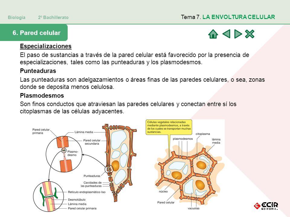 Biología 2º Bachillerato Tema 7. LA ENVOLTURA CELULAR 6. Pared celular Especializaciones El paso de sustancias a través de la pared celular está favor