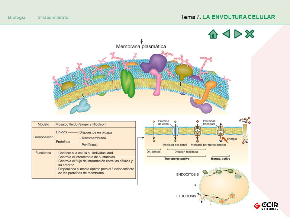 Biología 2º Bachillerato Tema 7. LA ENVOLTURA CELULAR