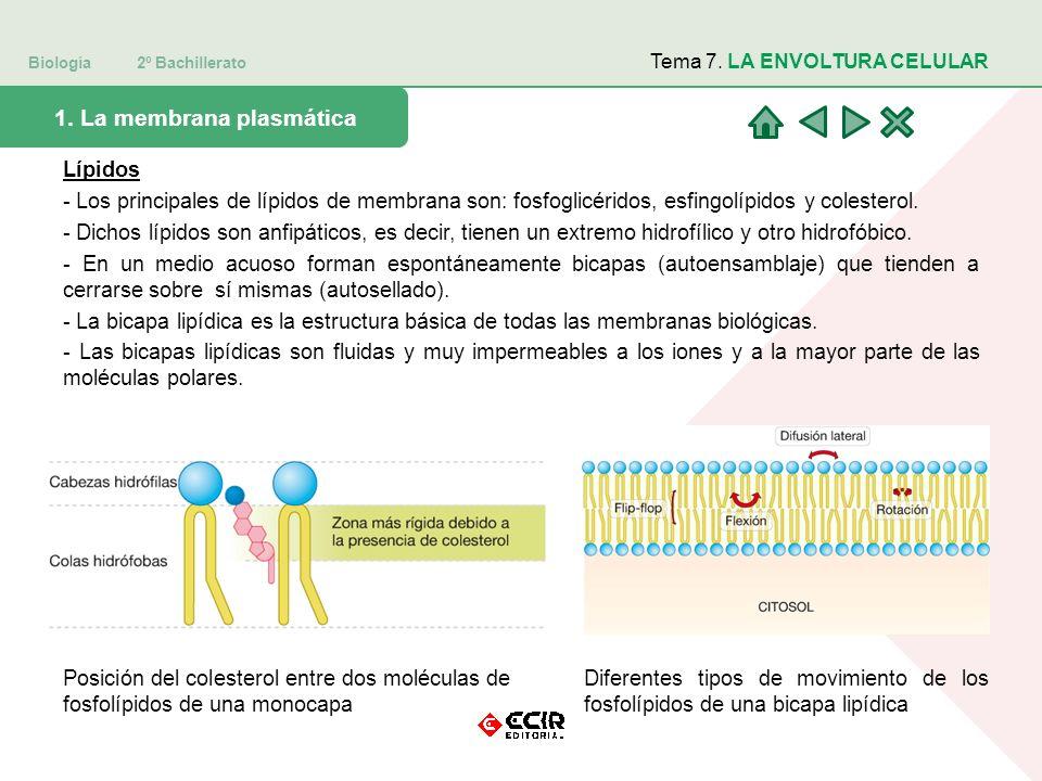 Biología 2º Bachillerato Tema 7. LA ENVOLTURA CELULAR 1. La membrana plasmática Lípidos - Los principales de lípidos de membrana son: fosfoglicéridos,