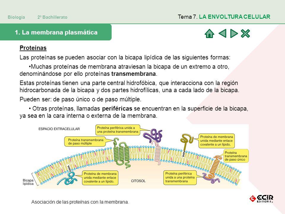 Biología 2º Bachillerato Tema 7. LA ENVOLTURA CELULAR 1. La membrana plasmática Proteínas Las proteínas se pueden asociar con la bicapa lipídica de la