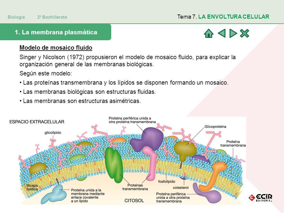 Biología 2º Bachillerato Tema 7. LA ENVOLTURA CELULAR 1. La membrana plasmática Modelo de mosaico fluido Singer y Nicolson (1972) propusieron el model