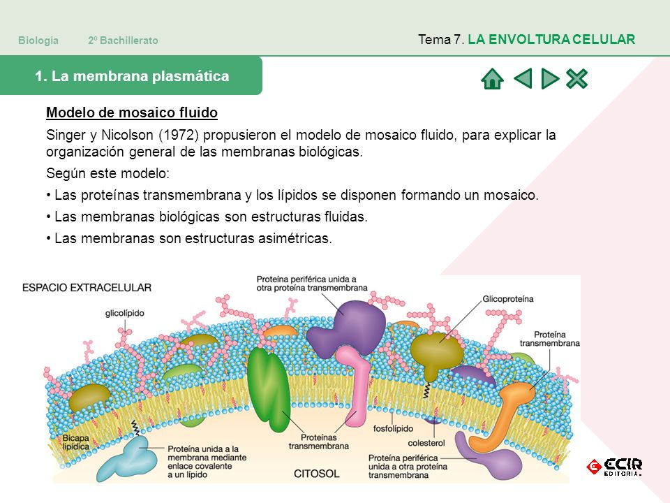 Biología 2º Bachillerato Tema 7.LA ENVOLTURA CELULAR 5.