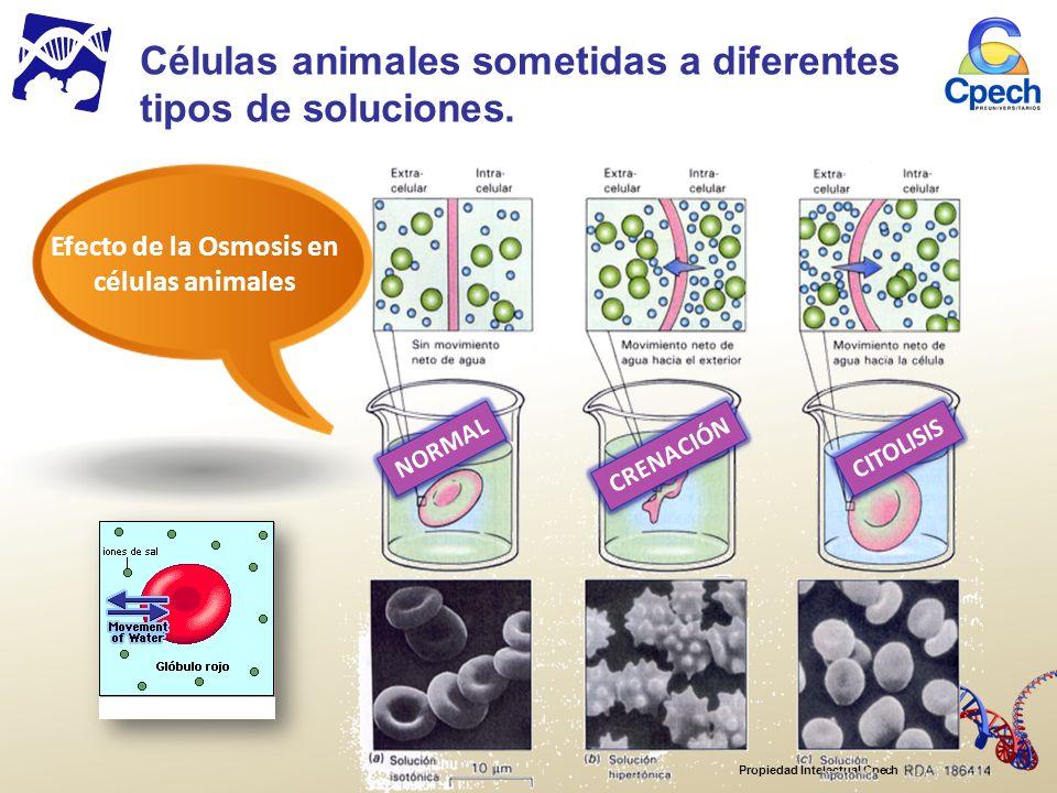 Propiedad Intelectual Cpech Efecto de la Osmosis en células animales Células animales sometidas a diferentes tipos de soluciones.
