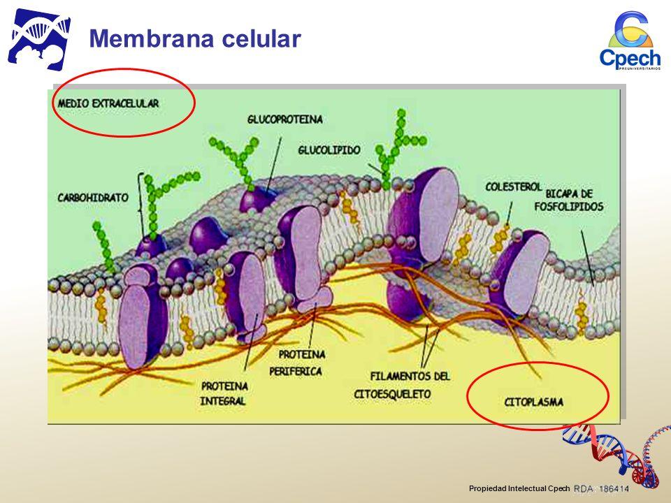 Propiedad Intelectual Cpech COMPONENTES DE LA MEMBRANA CELULAR Proteínas Glúcidos Colesterol Fosfolípidos Membrana celular