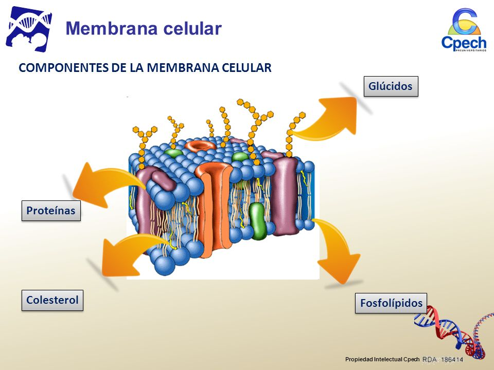 Propiedad Intelectual Cpech Transporte a través de la membrana EF G