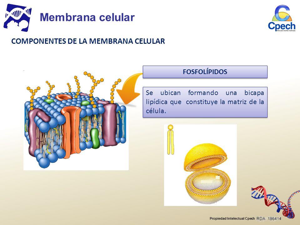Propiedad Intelectual Cpech Se ubican formando una bicapa lipídica que constituye la matriz de la célula.