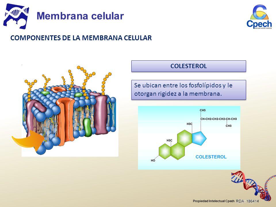 Propiedad Intelectual Cpech oTransmembranales o integrales o intrínsecas: cruzan toda la membrana y se pueden ver por el interior y el exterior de la célula.