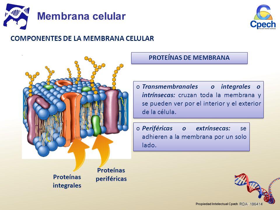 Propiedad Intelectual Cpech Características de la osmosis: o Movimiento de moléculas de agua a favor de su gradiente de concentración.