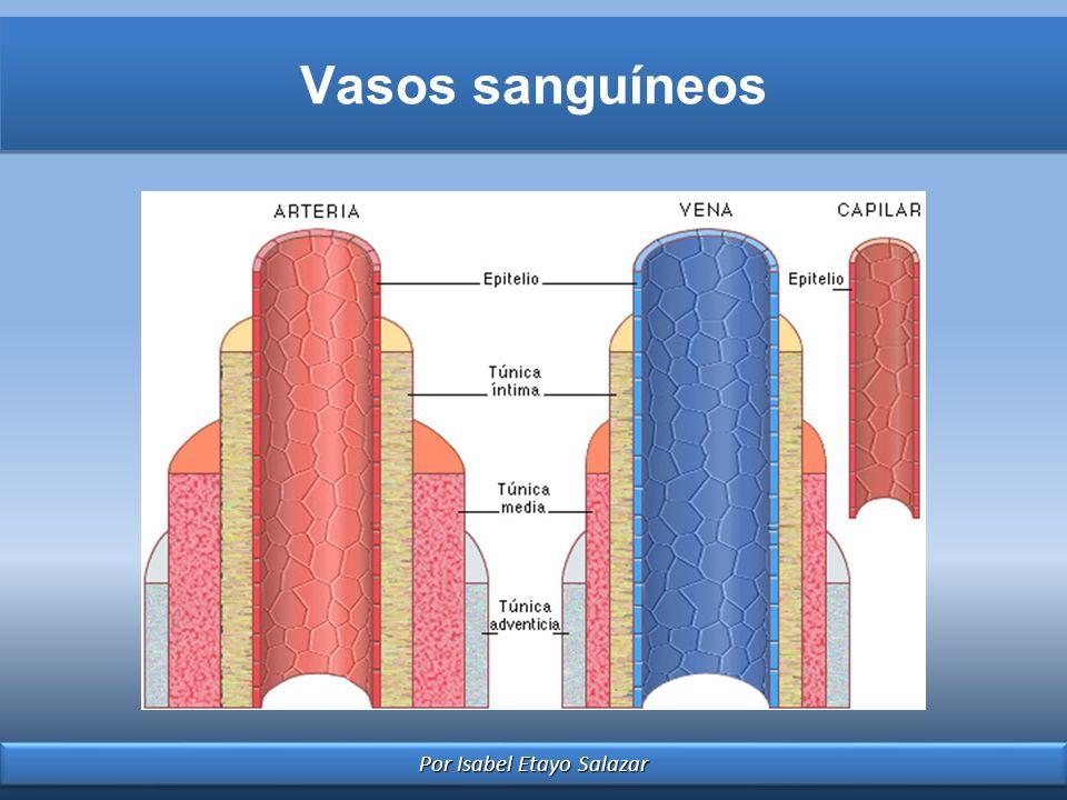 Por Isabel Etayo Salazar Vasos sanguíneos