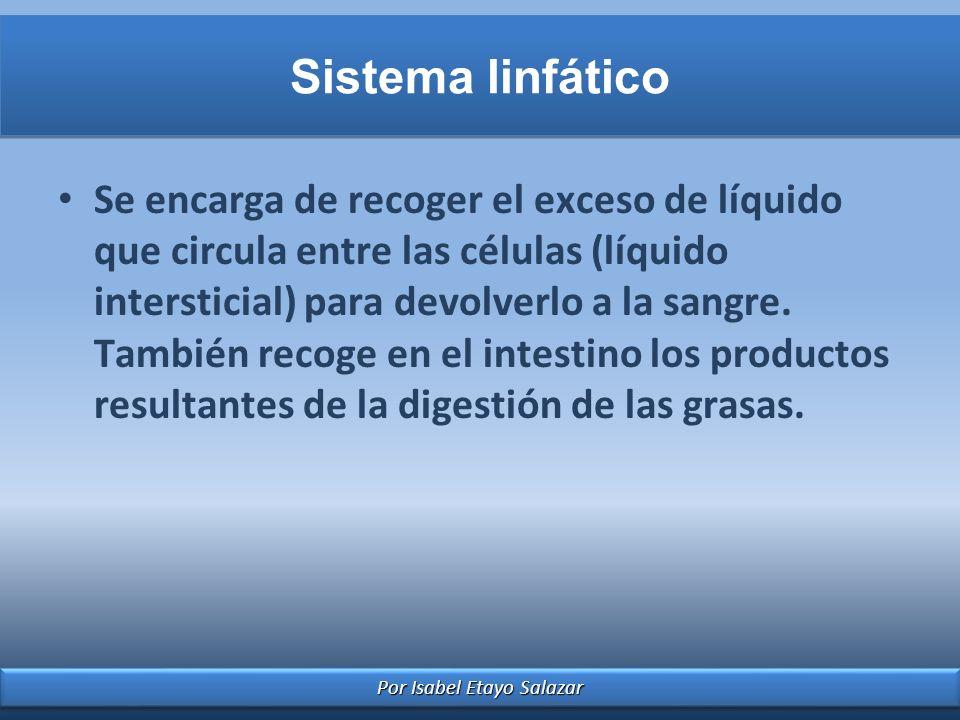 Por Isabel Etayo Salazar Sistema linfático Se encarga de recoger el exceso de líquido que circula entre las células (líquido intersticial) para devolv