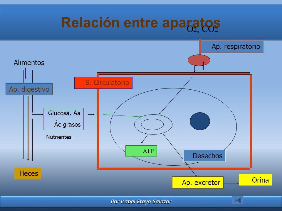 Por Isabel Etayo Salazar Relación entre aparatos Alimentos Ap. digestivo Nutrientes Glucosa, Aa Ác grasos S. Circulatorio O 2, CO 2 Ap. respiratorio H