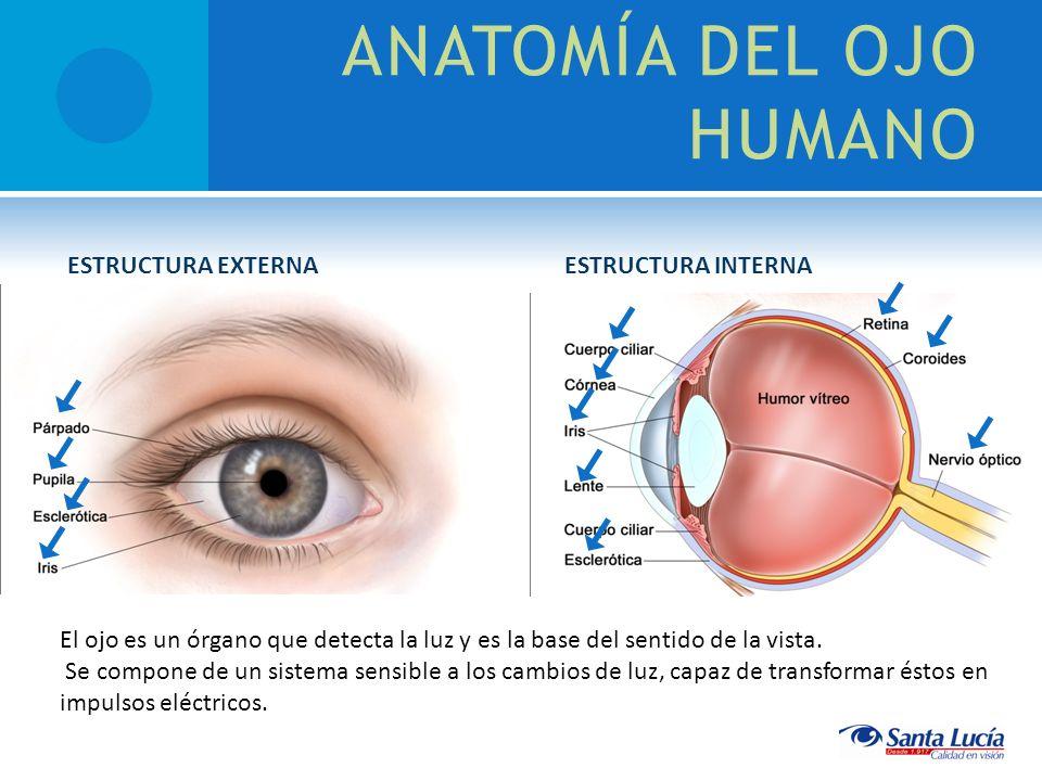 ANATOMÍA DEL OJO HUMANO El ojo es un órgano que detecta la luz y es la base del sentido de la vista. Se compone de un sistema sensible a los cambios d