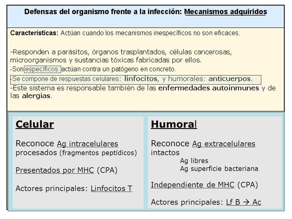 Celular Reconoce Ag intracelulares procesados (fragmentos peptídicos) Presentados por MHC (CPA) Actores principales: Linfocitos T Humoral Reconoce Ag