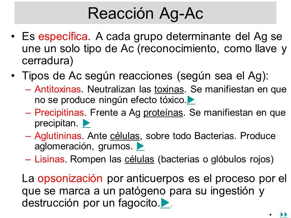 Reacción Ag-Ac Es específica. A cada grupo determinante del Ag se une un solo tipo de Ac (reconocimiento, como llave y cerradura) Tipos de Ac según re
