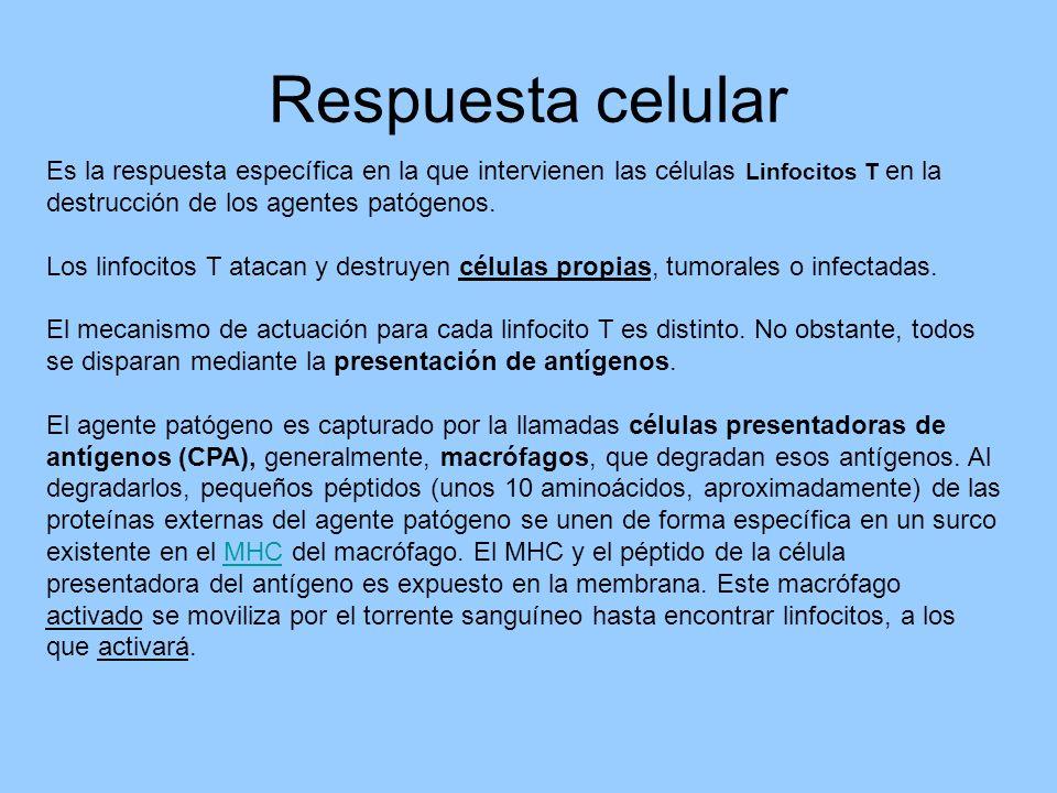 Respuesta celular Es la respuesta específica en la que intervienen las células Linfocitos T en la destrucción de los agentes patógenos. Los linfocitos