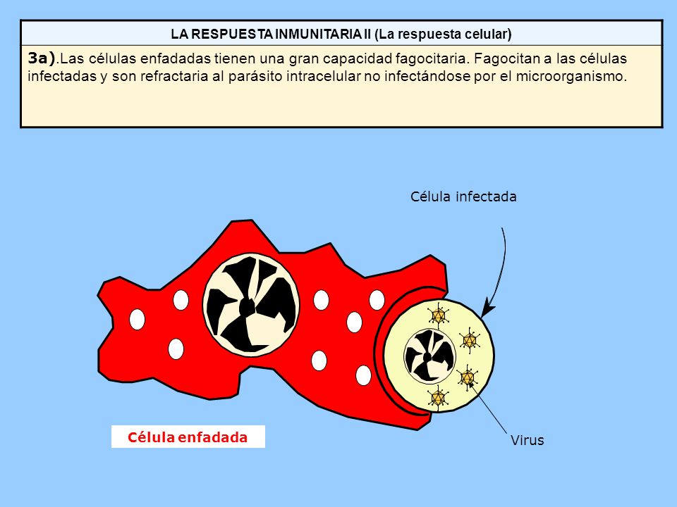 LA RESPUESTA INMUNITARIA II (La respuesta celular ) 3a).Las células enfadadas tienen una gran capacidad fagocitaria. Fagocitan a las células infectada