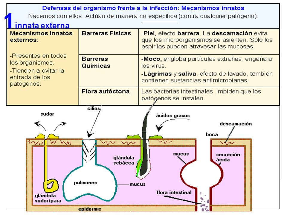 Respuesta Humoral Las células no atacan directamente a los antígenos.